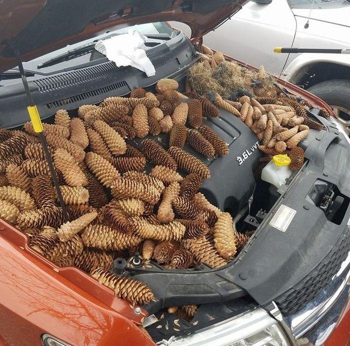 Белки спрятали под капотом автомобиля 23 килограмма шишек